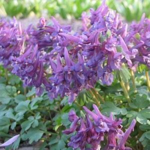 Corydalis Purple Bird - Corydale bulbeuse