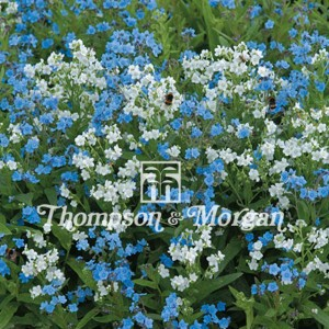 Cynoglossum Chill Out - Myosotis Chinois