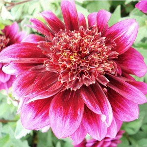 Dahlia Anémone Purple Puff