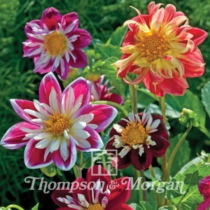 Dahlia variabilis Dandy Improved Mix