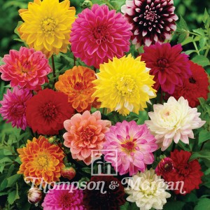 Dahlia  Giant Hybrids Mixed