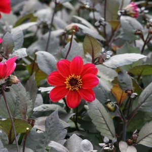 Dahlia Happy Single Romeo