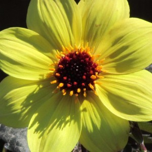 Dahlia Knock Out / Mystic Illusion