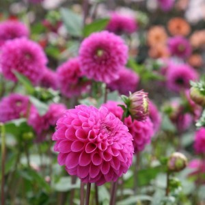Dahlia Pompon Purple Fox