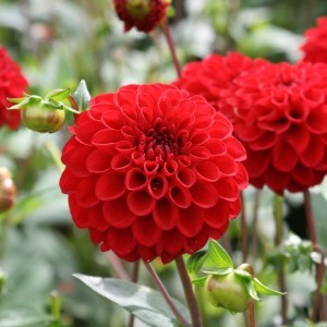 Dahlia Pompon Red Fox