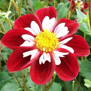 Dahlia Collerette Mary Evelin