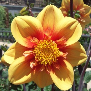 Dahlia collerette Esther - Dahlia nain à collerette
