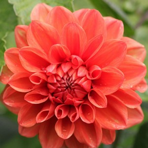 Dahlia décoratif Ellen Houston