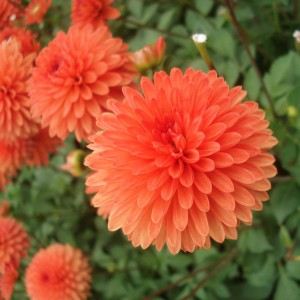 Dahlia nain Jewel Orange