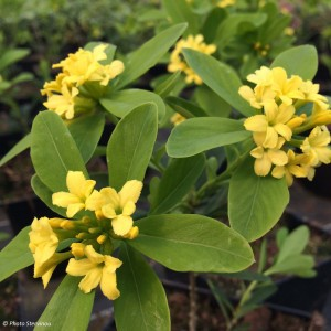 Daphne gemmata Royal Crown