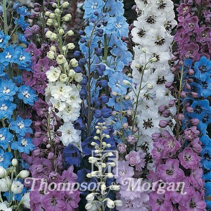 Delphinium Hybridum Pacific Giants Mixed