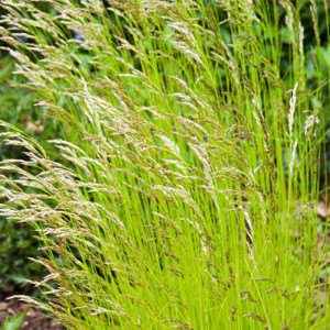 Deschampsia flexuosa Tratra Gold - Canche flexueuse