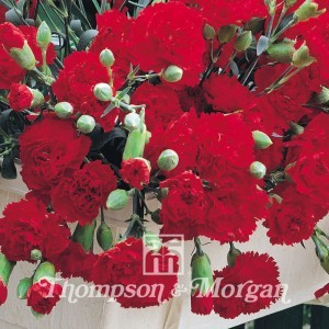 Dianthus Trailing Carnations Mixed