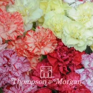 Dianthus Giant Chabaud Mixed