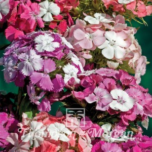 Dianthus  Kaleidoscope Mixed