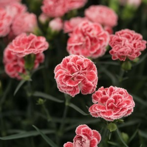 Dianthus Scent First® Coral Reef - Oeillet mignardise