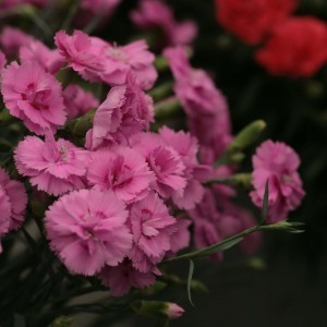 Dianthus Scent First®  Tickled Pink - Oeillet mignardise