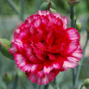 Dianthus plumarius Devon Magic - Oeillet mignardise
