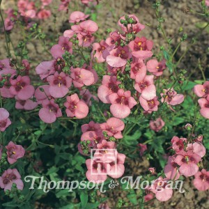 Graines de Diascia barberae Rose Queen - Diascie rose