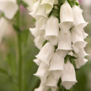 Digitalis purpurea Snow Thimble - Digitale pourpre