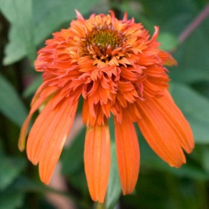 Echinacea Hot Papaya - Rudbeckia pourpre