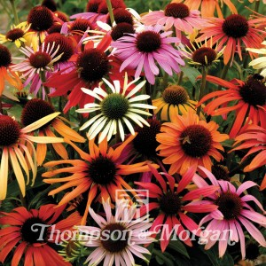 Echinacea x Hybrida Magic Box