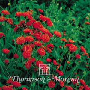 Emilia Coccinea Scarlet Magic