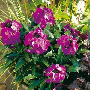 Giroflée vivace - Erysimum Winter Joy