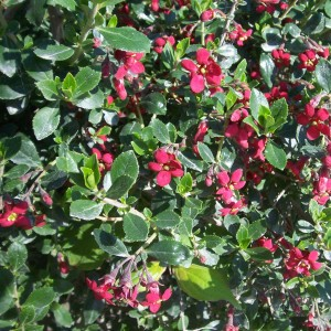 Escallonia hybride Red Dream
