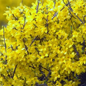 Forsythia Mêlée d'Or ® - Mimosa de Paris