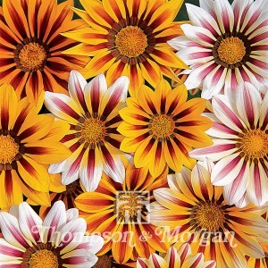 Gazania Tiger Stripes Mixed