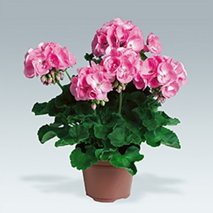 Pelargonium - Geranium zonale Candy Rose