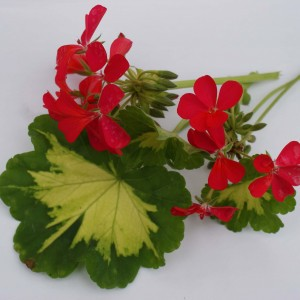 Geranium zonale Happy Thought - Pelargonium fantaisie