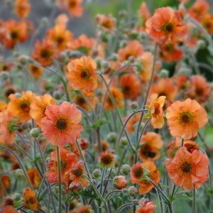 Geum Totally Tangerine - Benoîte orange vif.
