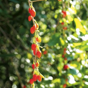 Goji Instant Success® - Lycium barbarum