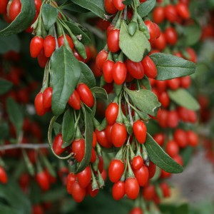 Goji Sweet Lifeberry® - Lycium barbarum