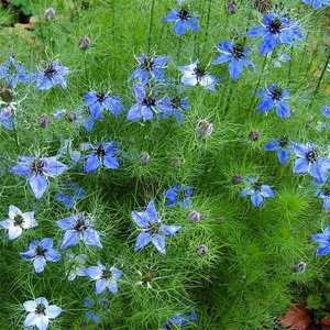 Graines de Nigelle de Damas Miss Jekyll Blue - Nigella damascena