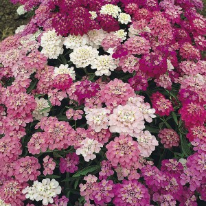 Graines de Thlaspi nain Candytuft Fairy mixed - Iberis umbellata