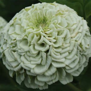Graines de Zinnia Polar Bear