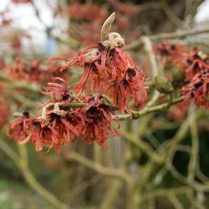 Hamamelis Intermedia Ruby Glow