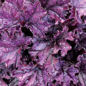 Heuchere Forever Purple - Heuchera (x) hybrida