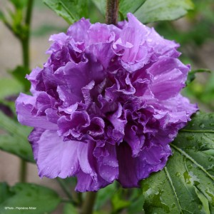 Hibiscus French Cabaret Purple® - Mauve en arbre double violette