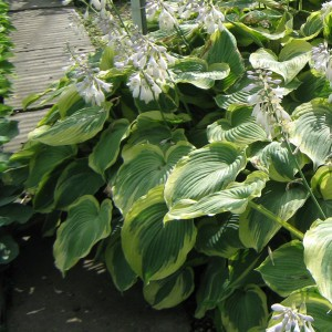 Hosta Earth Angel - Hosta panaché