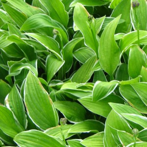 Hosta Herifu - Hosta miniature