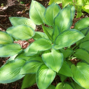 Hosta Paul s Glory