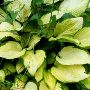 Hosta fortunei Gold Standard