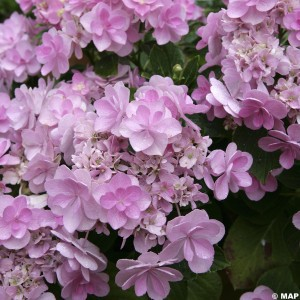 Hortensia - Hydrangea You and Me Forever