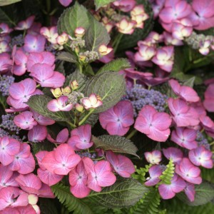 Hortensia - Hydrangea macrophylla Dark Angel Purple