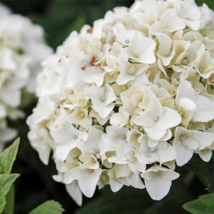 Hortensia - Hydrangea macrophylla Endless Summer The Bride