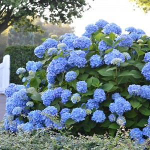 Hortensia - Hydrangea macrophylla Endless Summer The Original (bleu)
